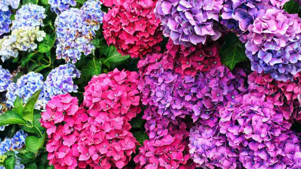 ZD. How to Use Hydrangeas in a Bridal Bouquet Promo Image