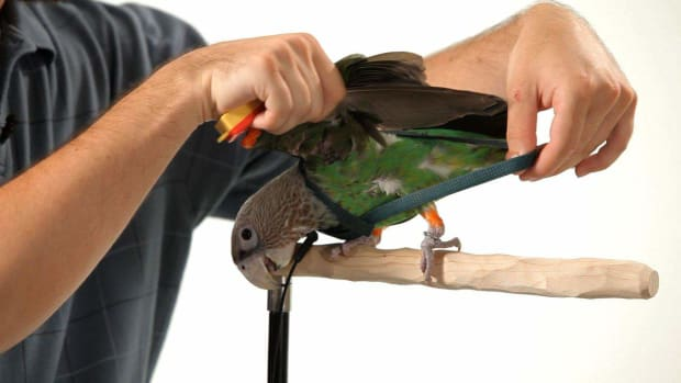 ZH. How to Put a Harness on Your Parrot Promo Image