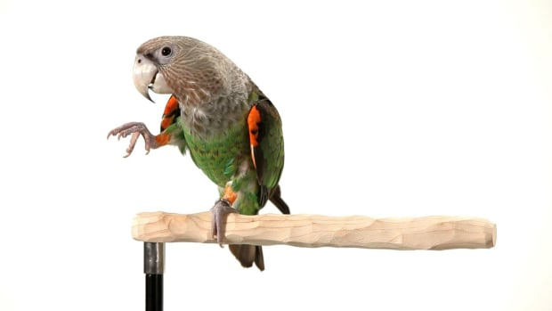 R. How to Teach Your Parrot to Wave Promo Image