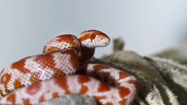 ZJ. Signs You Should Take Your Snake to a Vet Promo Image