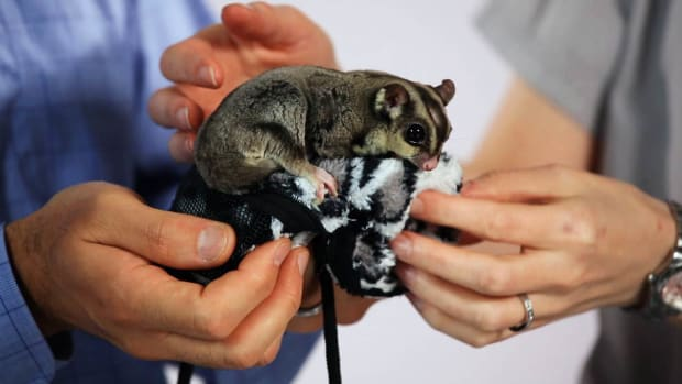A. What Is a Sugar Glider? Promo Image
