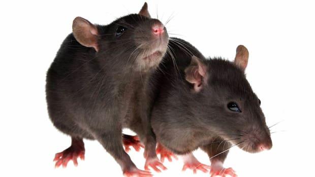 D. How to Socialize a Pet Rat Promo Image