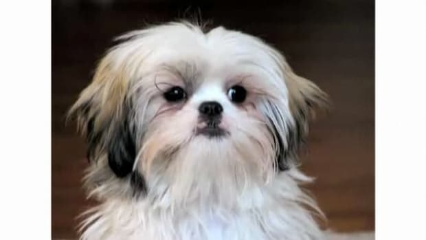 H. Pros & Cons of the Shih Tzu Breed Promo Image