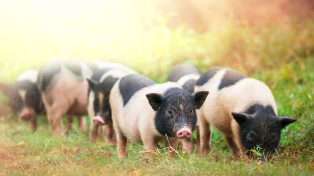 G. Potbellied Pigs vs. Domestic Pigs Promo Image