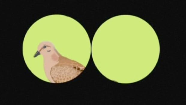 H. How to Identify Birds: The Mourning Dove Promo Image