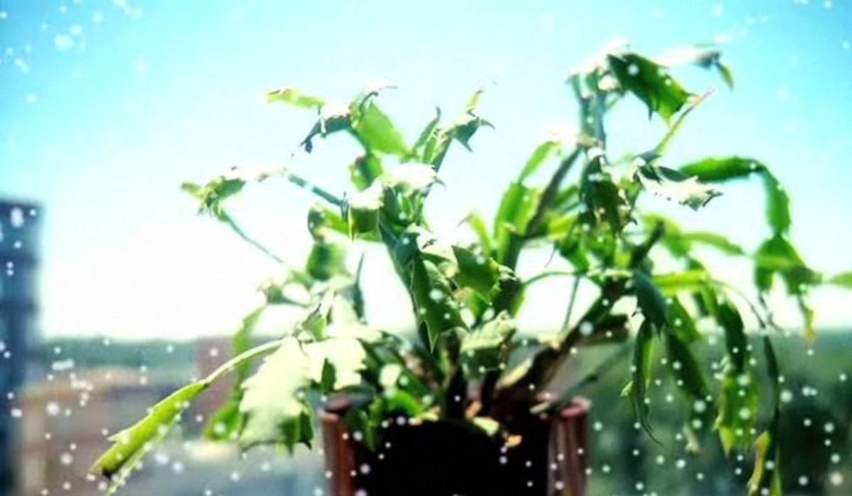 how to get a christmas cactus to bloom again howcast the best how to videos. Black Bedroom Furniture Sets. Home Design Ideas